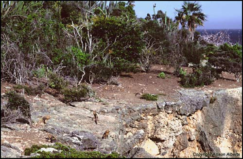Cyclura nubila nubila (Cuban Rock Iguanas)