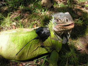 Picture 2.  Radiotelemetry is used to study iguana movements and its use of habitats.  Photo by ONCFS.